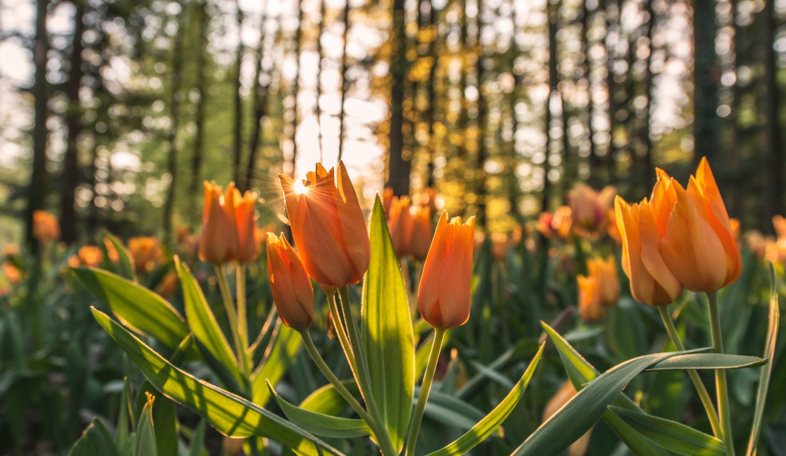 Waibel Floristik Tulpen